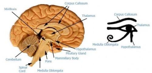 The United States of the Solar System, A.D. 2133 (Book Five) - Page 2 Eye_of_horus_thalamus_brain-500x241