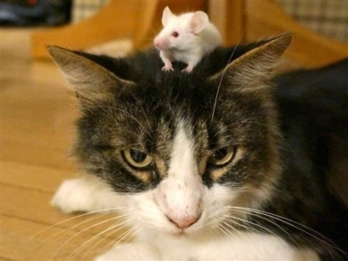 Cat Poop Parasite: Cat with Zombified Mouse on its Head