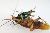 The Wasp Feeds on its Host