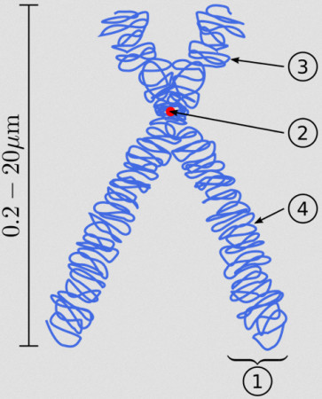 Chromosome (3) Short arm. (4) Long arm.