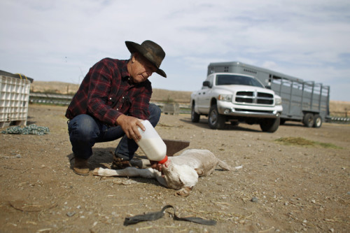 Embattled Rancher Cliven Bundy Tends to Thirsty Calf
