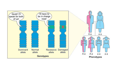 The effects of a recessive allele become apparent only if the dominant allele becomes inactivated or lost.