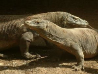 Komodo Male and Female